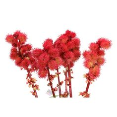 Spiky Castor Pods Red add a great texture - Potomac Floral Wholesale www.flowerwholesale.com