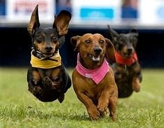 Weiner Dog Races at Berges Fest!