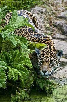 La distruzione delle foreste costituisce oggi il pericolo maggiore per il giaguaro, che ha perso circa la metà del suo habitat naturale. Se vuoi conoscere l'ambiente dove vive e. se avremo fortuna, vedere le tracce della sua presenza, vieni con noi in #Amazzonia!