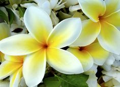 緬梔(Plumeria obtusa),別稱緬梔子、雞蛋花