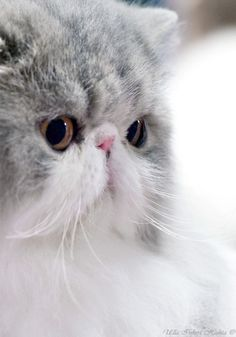 """Persian Cat Shorthaired * * PERSIAN: """"Please stops usin' de words 'flat face' evens tho it be true. We haz lottsa sinus problems cuz of hows we wuz selective bred, soes beez kind. I Love Cats, Crazy Cats, Cool Cats, Pretty Cats, Beautiful Cats, Pretty Kitty, Beautiful Pictures, Kittens Cutest, Cats And Kittens"""
