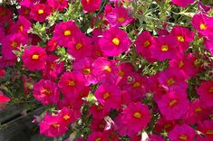 Find SuperCal® Neon Rose Petchoa (Petchoa 'SuperCal Neon Rose') in Wilmette Chicago Evanston Glenview Skokie Winnetka Illinois IL at Chalet Nursery (Mini Petunia) Winnetka Illinois, Full Size Photo, Live Plants, Bulb, Bloom, Home And Garden, Nursery, Neon, Spring
