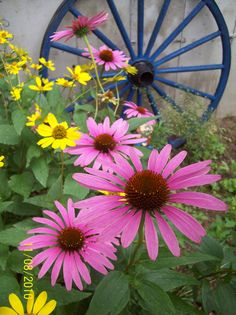 Cone flowers and a wagon wheel