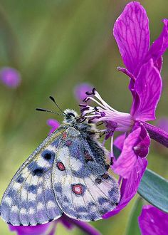 Apollo Butterfly by Michael Wheatley