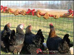 Marans greenfire farms chicken pinterest beautiful marrom