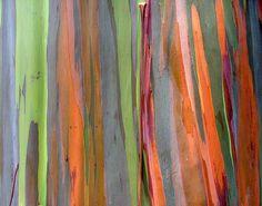 Eucalyptus tree bark, via Flickr.