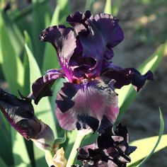 Iris Bulbs Bearded  Perennial Impressive Reblooming Rare Fragrant Superstition