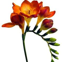 Google Image Result for http://www.fiftyflowers.com/site_files/FiftyFlowers/Image/Product/Orange_Freesia_Fresh_Cut_Flower_500.jpg