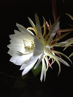 Night blooming cactus flower only blooms at night, once a year!