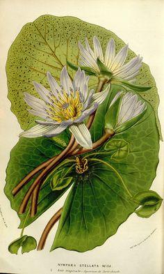 Nymphaea Stellata from Flore des serres et des jardins de l'Europe. A Gand: chez…