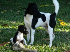 Smooth Fox Terrier Pup with Dad.