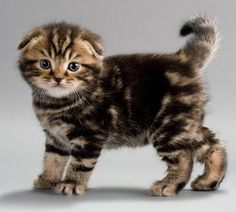 Scottish Fold is such an adorable breed of cat!