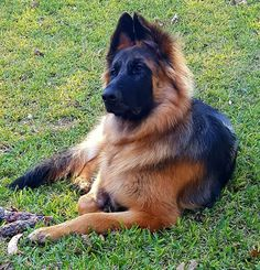 Taylor, long hair female German Shepherd, by VHR Achilles Ultra Fatimo and VHR Heidi Vom Badboll, from the VHR RANCH in Paige Tx