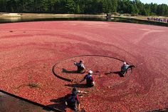 Cranberry Bog on Cape Cod - NEXT YEAR!!