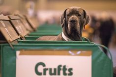 Owners and dogs attend the first day of Cruftshttp://www.telegraph.co.uk/lifestyle/pets/10680498/Crufts-2014-the-worlds-biggest-dog-show-in-pictures.html