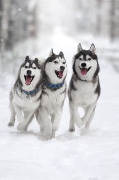 """Explore our internet site for more relevant information on """"Siberian Husky Dogs"""". It is actually an exceptional location to read more. Siberian Husky Puppies, Husky Puppy, Shiba Inu, Akita, Baby Huskies, Cute Husky, Yorkshire Terrier Puppies, Snow Dogs, Beautiful Dogs"""
