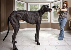 Zeus, from Michigan, USA, measures more than 7ft tall on his hind legs