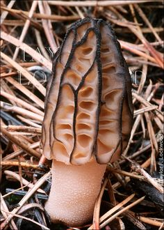 morchella elata-there is nothing more fun than finding one of these hiding in the woods!  I'm addicted to hunting morels!