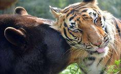 Conoce cómo un oso, tigre y león viven tierna amistad [VIDEO]