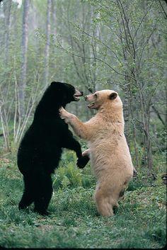"""La sous-espèce de l'ours noir est également connu comme «ours esprit"""", """"ours blanc"""", ou """"Moksgm'ol"""", l'objet vénéré de Kitasoo légende indigène local. Le kermode ne se trouve que sur quelques îles côtières, y compris l'île Princess Royal, et dans trois vallées du centre du Canada-Ouest, en Colombie-Britannique: la Nass, Skeena et Kispiox."""