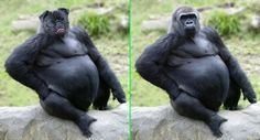 Fake - Pugorilla - The original image of a Gorilla is on the right.(He didn't like it either!)