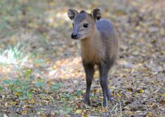 A male red-flanked duiker calf was born to parents Hank and Iggy on Sept. 8, 2013. He is also the first red-flanked duiker calf born at Brookfield Zoo. — at Brookfield Zoo.