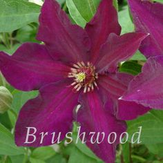 Clematis Stasik is a beautiful compact vine with reddish purple flowers up to 5 inches across. Stasik is a boys nickname in Russian. This variety is well suited to container culture!