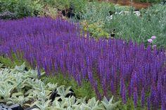 SALVIA nemorosa 'Ostfriesland' - Salvie, farve: blåviolet/duftende, lysforhold: sol, højde: 40 cm, blomstring: juni - september, velegnet til snit, god til bier og andre insekter.
