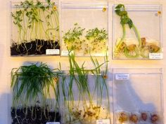 La germination des graines | À cartable ouvert | Bloglovin' Mad Science, Science For Kids, Science Experiments, Art For Kids, Nursery Rhymes Lyrics, Plant Lessons, Seed Germination, Inspired Learning, Plantation