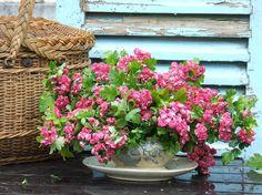 Crimson Hawthorn - My French Country Home, French Living - Sharon Santoni