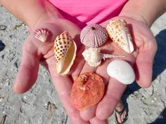 Guide to find seashells Conch Shells Sand Dollars. How and Where To Collect, Beach Comb on Sanibel, Captiva, Southwest Florida Islands Lee County. Shells And Sand, Sea Shells, Sanibel Island Shells, Rock Plants, Lion Paw, Living On The Road, Shell Collection, Florida Style, Fort Myers Beach
