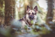 Alpha German Shepherd by Mariiana Capela