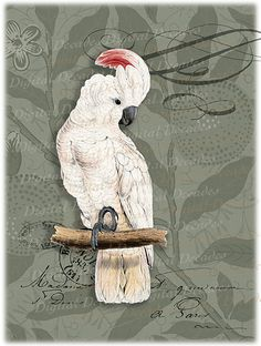 vintage Umbrella cockatoo