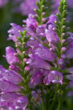 Physostegia - Pink Bouquet----My Mom grew this, common name is False Dragonhead. It very pretty but can become unruly. It spreads by underground runners so can spread out to areas you don't want it in. It's quite nice in pots, grows to about 18 to 24 inches tall so is good for the center attraction.