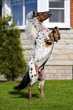 Appaloosa Pony stallion Бас (Bas)