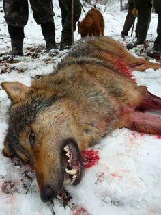 A hunted wolf in Slovakia (from www.lovuzdar.sk)
