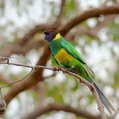 28 Parrot subspecies of the Australian Ringneck Parrot
