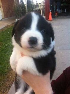 Hi there my name is Chris and I have been breeding border Collies for 15 years. I have a beautiful line of dogs that have given families a great companion for many years - https://www.pups4sale.com.au/dog-breed/400/Border-Collie.html