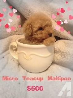 Teacup Teddy Bear Maltipoo Puppies ♥ ♥ for Sale in La Verne ...