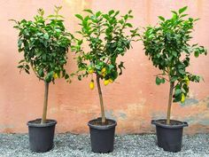 This is a guide about growing fruit trees in pots. In cooler climates or homes with no garden space, it is often preferable to plant fruit trees in pots. Indoor Trees, Potted Trees, Indoor Lemon Tree, Growing Fruit Trees, Citrus Trees, Luz Natural, Pot Of Gold, Fruit Garden, Plantation