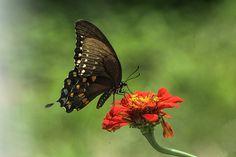 Butterfly On Zinnia by Olahs Photography