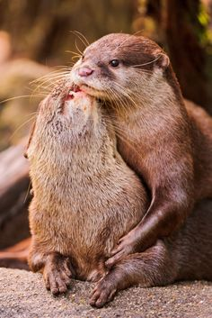 Affectionate otters