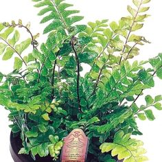 Mahogany Fern- One of over 400+ varieties from Exotic Angel Plants®
