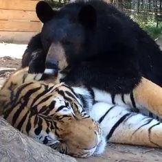 Anne the #bear sucking on Doc the #tiger (her #bff ) ears #love #oddanimalcouples at #noahsark www.noahs-ark.org #best #friends
