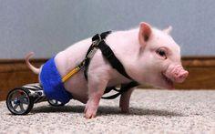 Este porquinho nasceu sem poder usar as patas traseiras. Ele foi equipado com uma cadeira de rodas especial, feita de peças de brinquedos. Funciona, e ele parece muito bem.