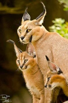 The caracal is a medium-sized wild cat native to Africa, the Middle East, Central Asia and India. The caracal is characterised by a robust build, long legs, a short face, long tufted ears and long canine teeth...