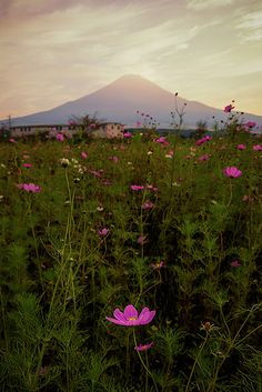 Cosmos Flowers and Mt. Fuji