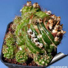 Notocactus werdermannianus forma mostruosa (Syn: Parodia werdermanniana 'mostruosa')