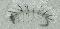 Hallucigenia sparsa fossil: from the Burgess Shale