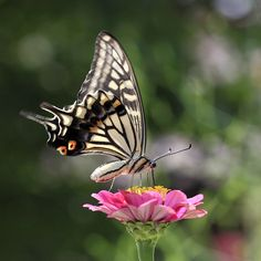 a swallowtail